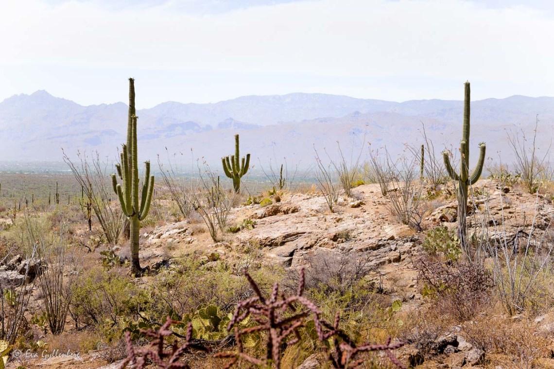 Saguaro National Park outside of Tucson, Arizona