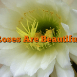 Roses Are Beautiful