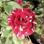Maroon-yellow striped roses