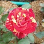orange-yellow striped rose
