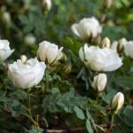 white-roses-garden
