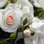 white-roses