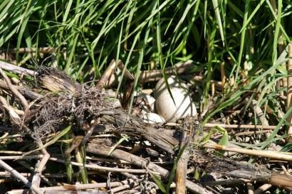 een typisch meerkoet nest: lekker rommelig!