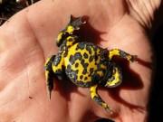 Un crapaud à ventre jaune. Une des espèces protégées que l'on trouve sur le futur site du Center Parcs à Roybon CC Julien Soret