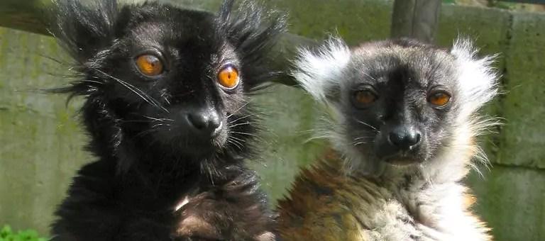 Face aux attaques, l'opaque centre de primatologie entre-ouvre sa porte