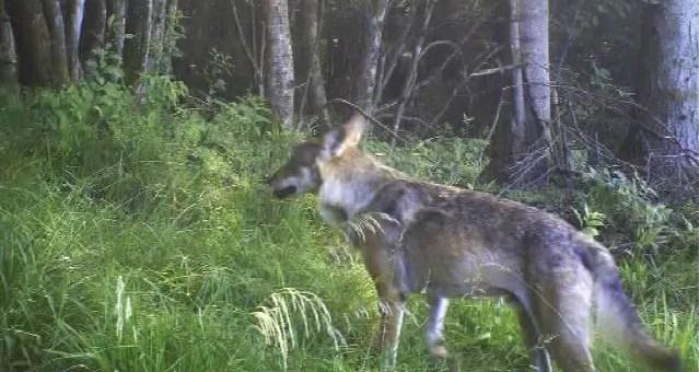 Dans les Vosges, le retour du loup a viré au conflit permanent
