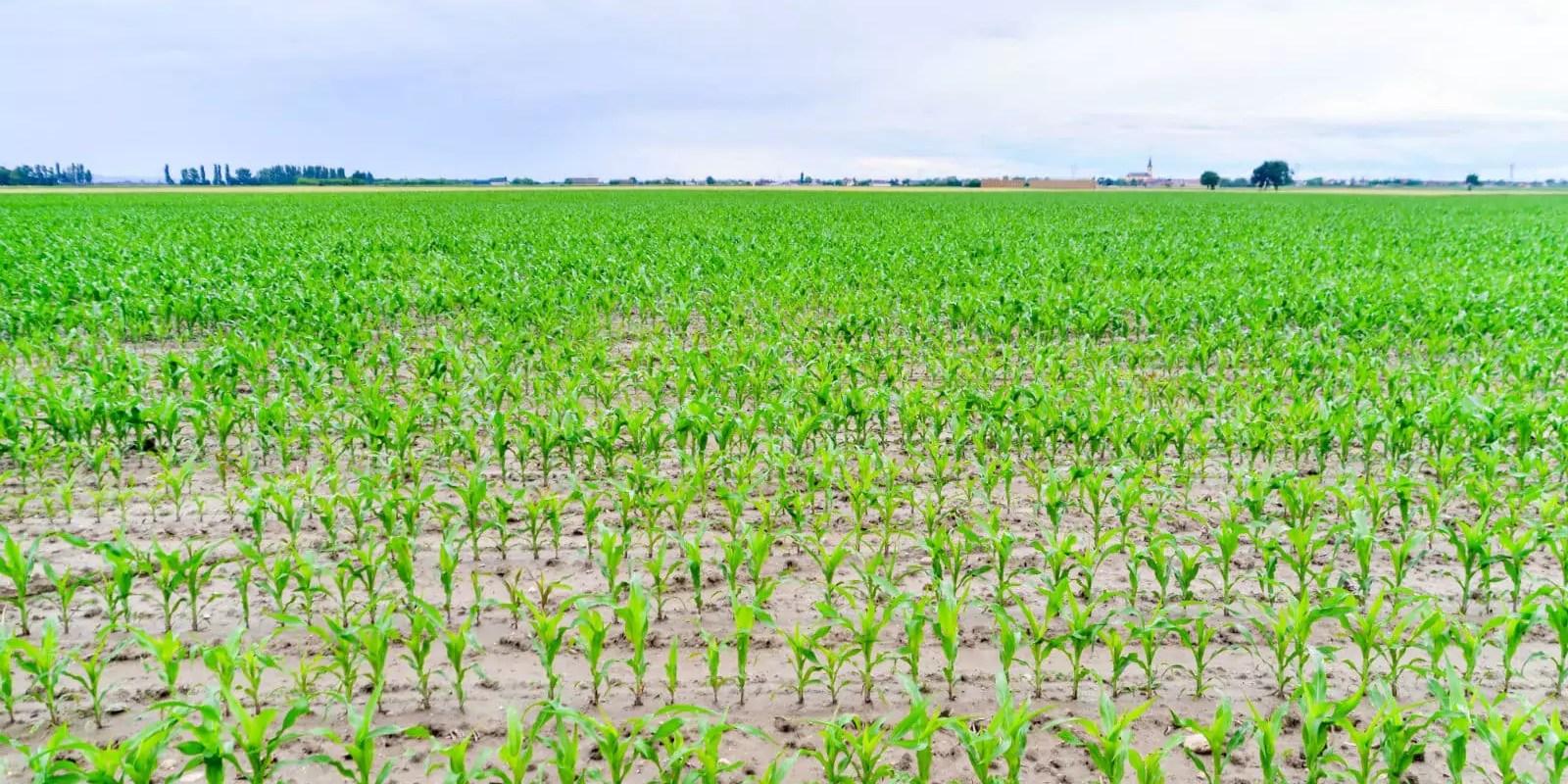 Pourquoi tant de maïs dans la plaine d'Alsace