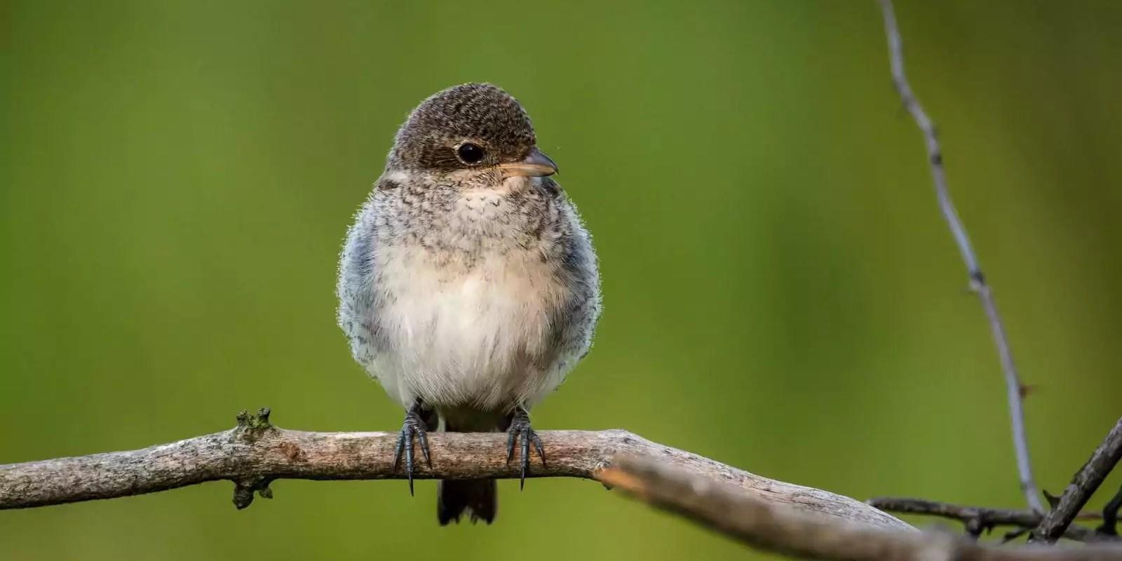 En Alsace, les populations d'oiseaux en déclin de 26 à 100% selon les espèces