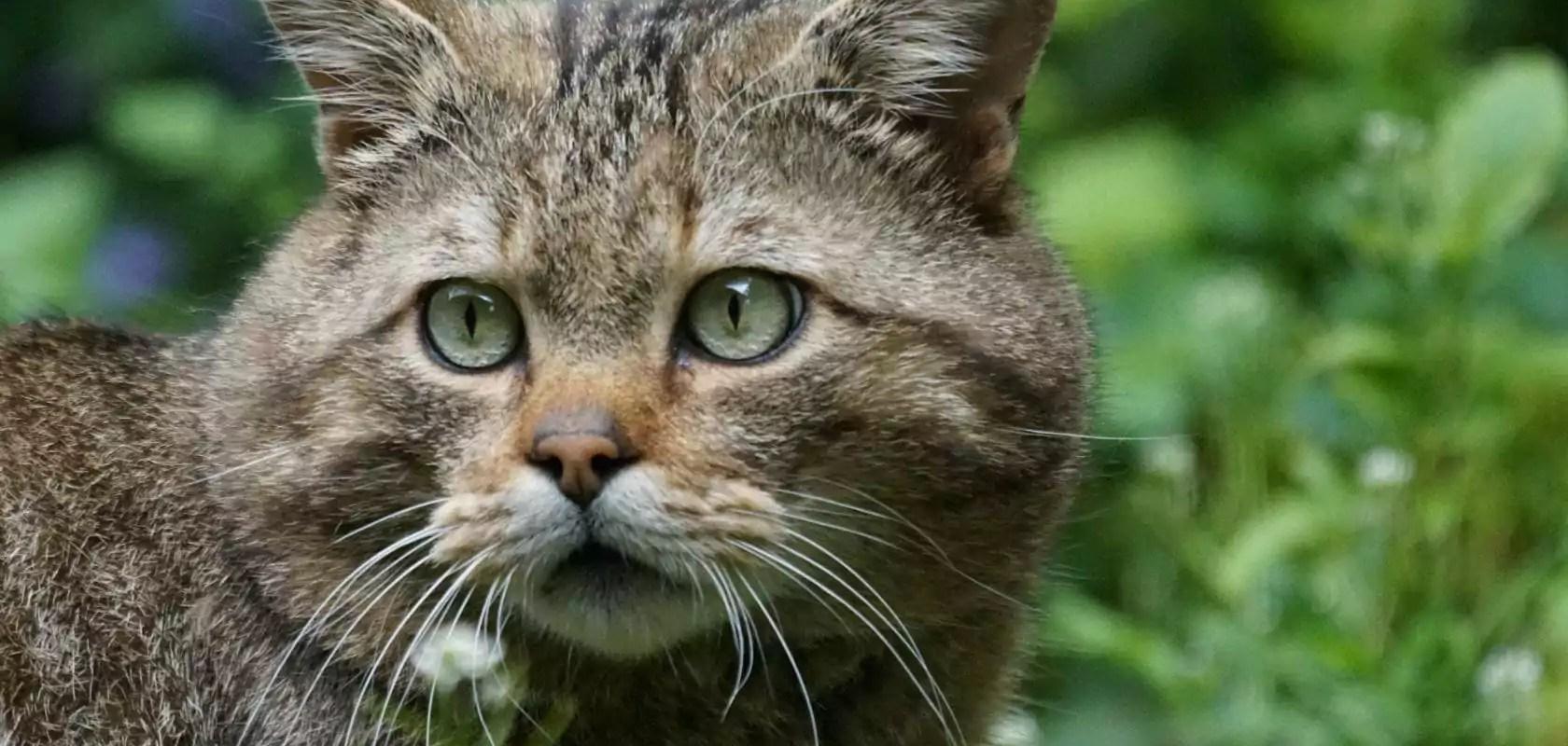 Le chat sauvage, félin discret encore présent en Alsace