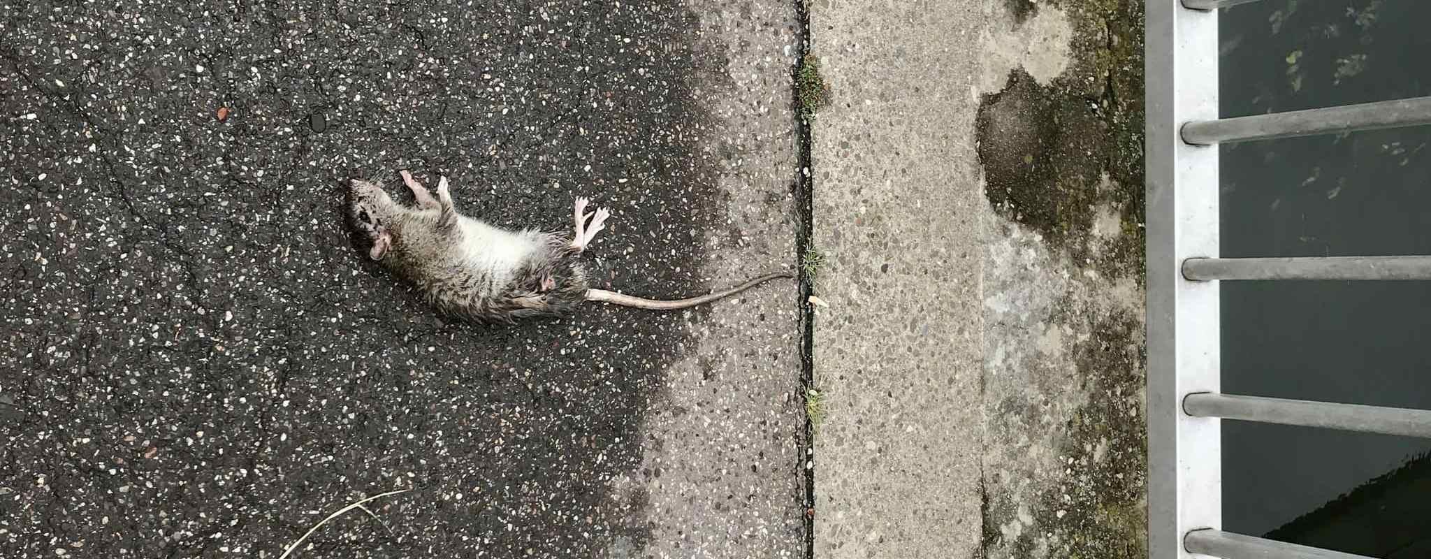 Contre les rats «répondons de manière urgente à la détresse de nombreux Strasbourgeois»