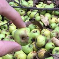 Zu klein für ein Apfelkuchen.