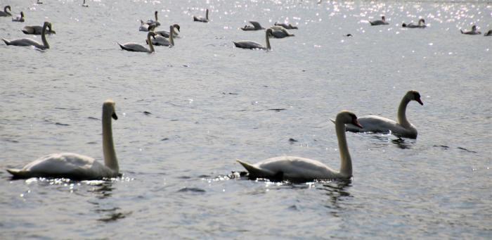 Schwäne auf dem Kemnader See
