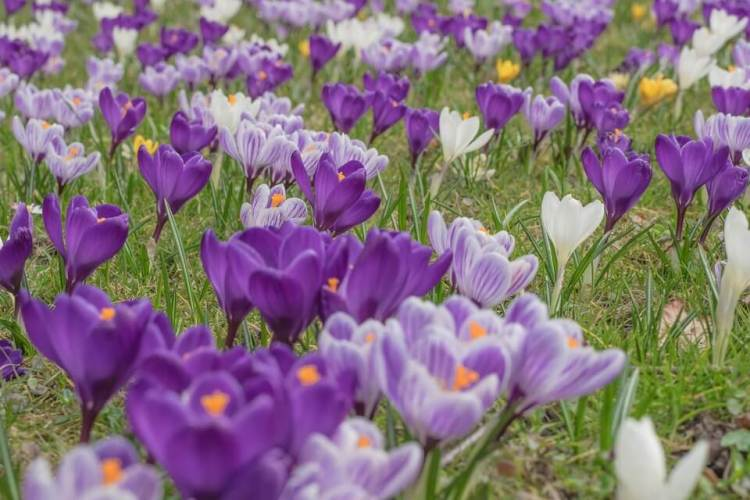 bunga saffron crocus sativus, manfaat bunga saffron untuk kesehatan, rumah saffron