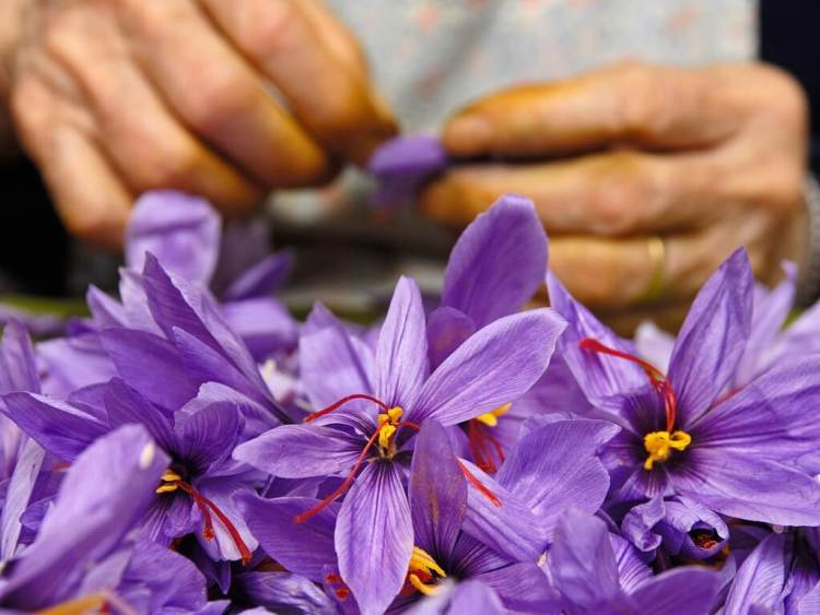 saffron spanyol, spanish saffron, jenis saffron spanyol, rumah saffron