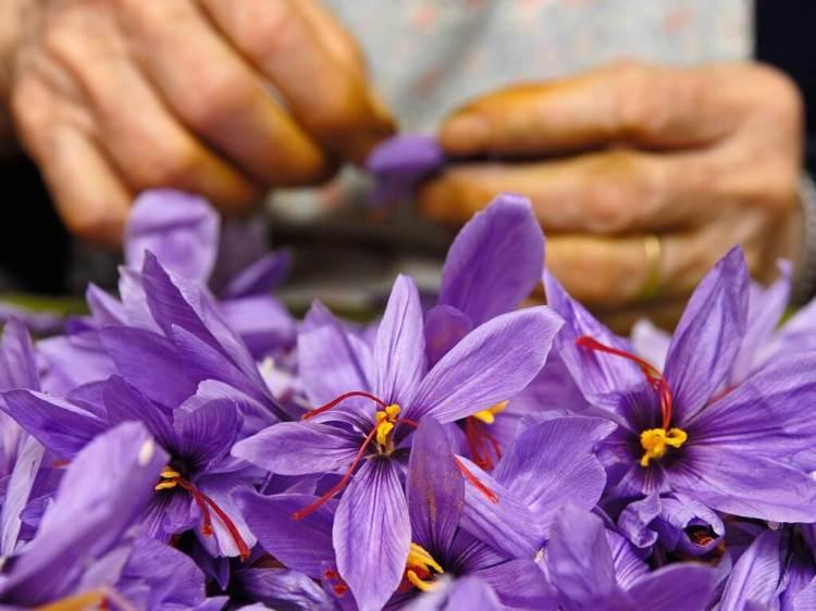supplier saffron, distributor saffron, saffron spanyol, spanish saffron, jenis saffron spanyol, rumah saffron
