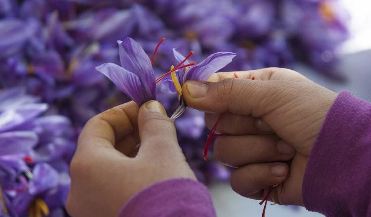 panen saffron kashmir, saffron terbaik di dunia, rumah saffron, tips cara menyimpan saffron