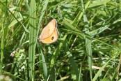 Schmetterling im Sommer