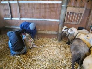 Entwurmung bei allen Schafen
