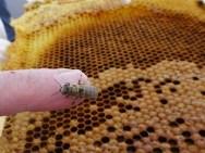 Eine frisch geschlüpfte Biene