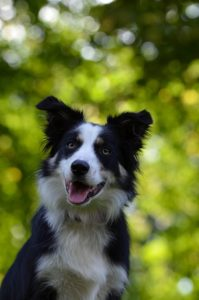 Starting Long Distance Running - Border Collie