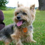 A Tale of Errant Wildlife – Part 1 – Attack of the Killer Yorkie