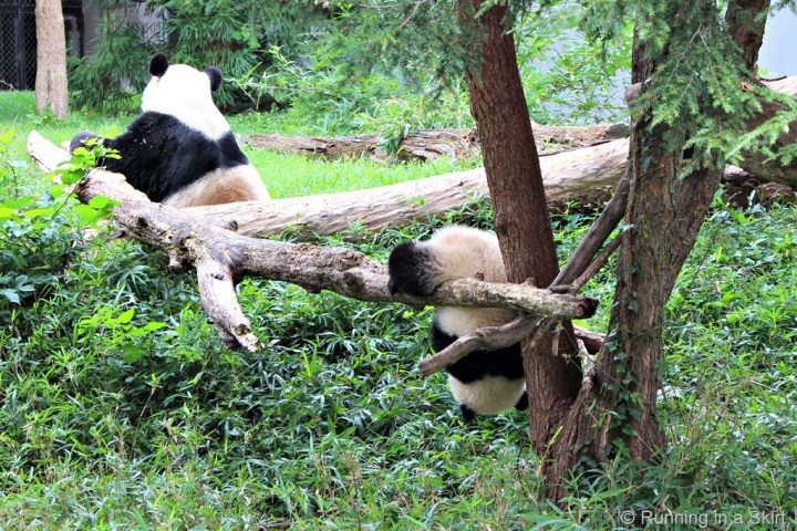 national_zoo_baby_panda_mom.jpg