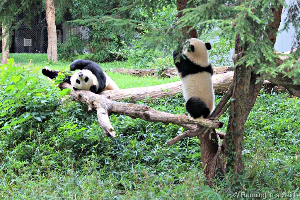 national_zoo_pandas.jpg