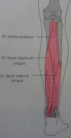 achterste scheenbeenspier