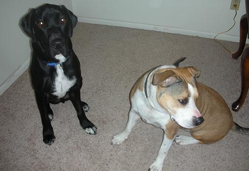 Breed profile: American Staffordshire terrier   ThatMutt com