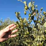 فوائد ومخاطر نبات صبار الألوفيرا ( Aloe Vera ) 5