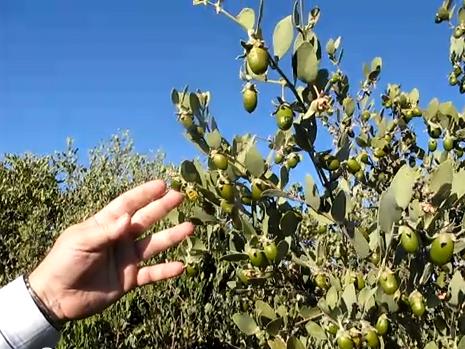 فوائد نبات الجوجوبا أو الذهب الأخضر - Jojoba tree 2