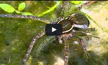 فيديو : عناكب مفترسة بإمكانها اصطياد أسماك أكبر منها و التغذي عليها 1