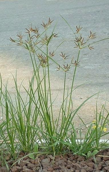 قدرة زيت نبات السعد على ايقاف نمو الشعر نهائياً تعادل الليزر ! 2