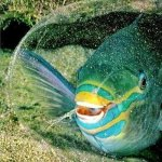 معلومات عن سمكة شمس المحيط أو المولا مولا الفريدة 4