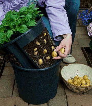 7 طرق لزراعة البطاطس (البطاطا) بنفسك في منزلك 10