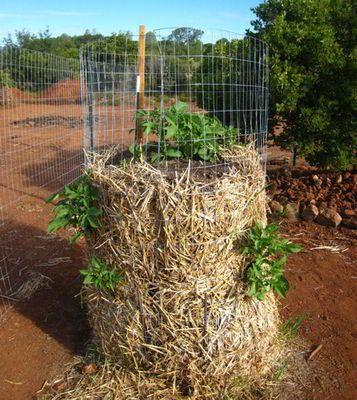 7 طرق لزراعة البطاطس (البطاطا) بنفسك في منزلك 12