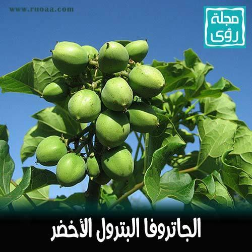 شجرة الجاتروفا : زيت نبات الجاتروفا وقود حيوي بديل للنفط 1