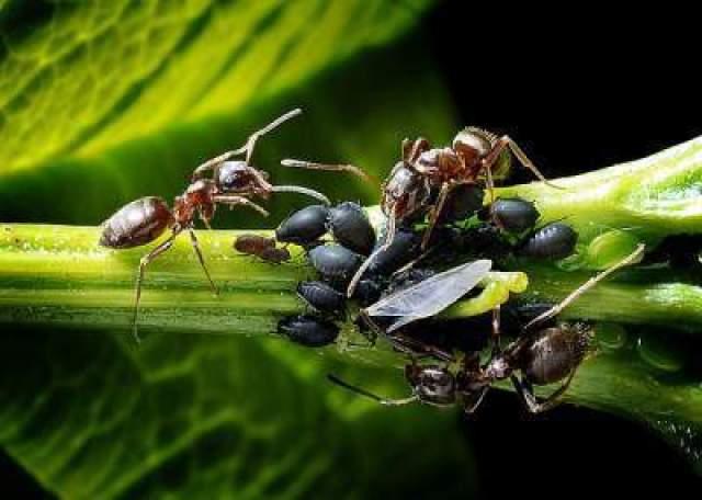 بالصور و الفيديو : سر العلاقة الغريبة بين النمل و حشرة المن 4
