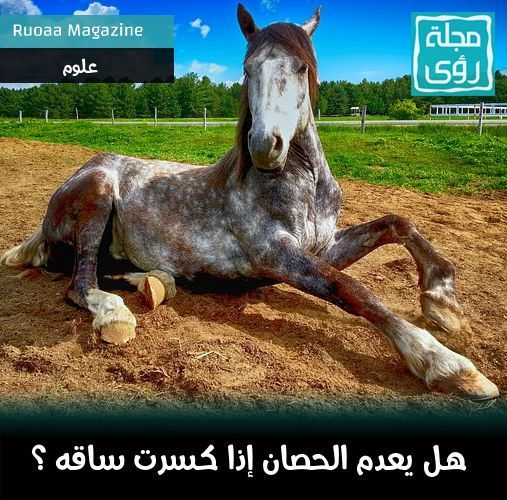 لماذا يقتل الحصان اذا اصيبت ساقه بكسر ولا يعالج ؟