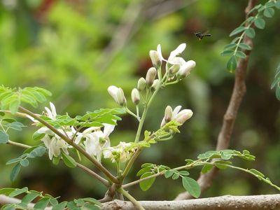 أزهار وبراعم شجرة المورينجا