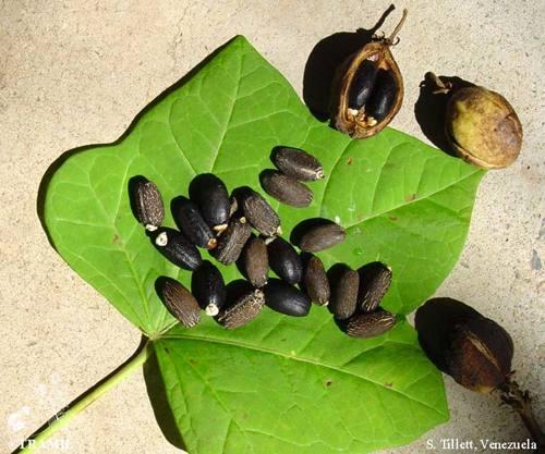 بذور نبات الجاتروفا الناضجة