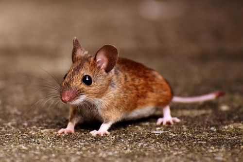 تنمية الأطراف المبتورة للفئران