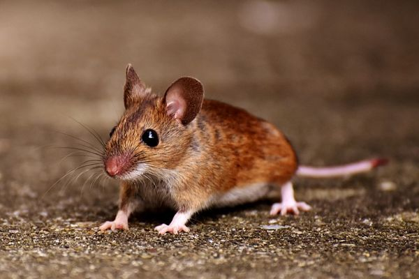 العلماء ينجحون في إعادة تنمية الأطراف المبتورة للفئران ! 3