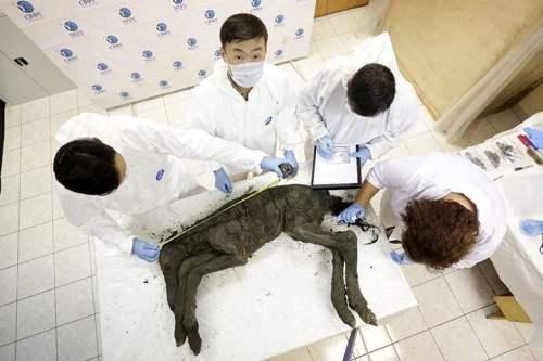 محاولة لإستنساخ حصان منقرض منذ 42 ألف عام 4