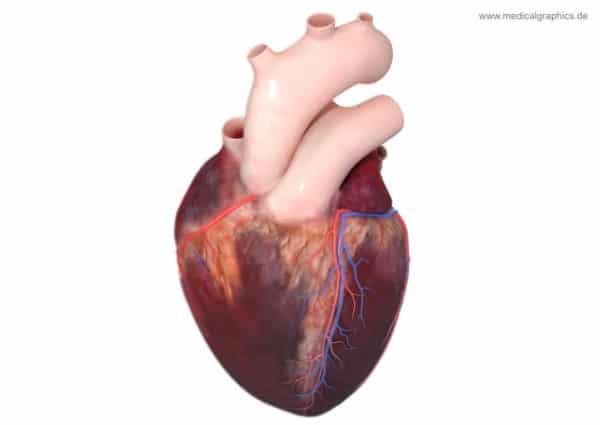 لأول مرة العلماء يكتشفون خلايا جديدة تعيد ترميم القلب 3