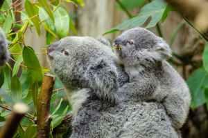 شجرة الأوكاليبتوس غذاء حيوان الكوالا