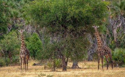 Rupert Gibson Photography - Giraffe1