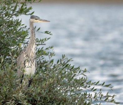 Rupert Gibson Photography -square heron2