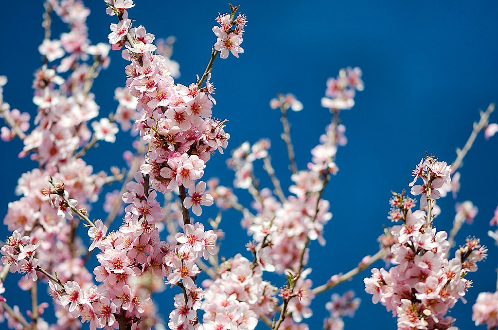 Lenda das Amendoeiras em Flor