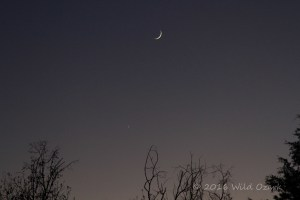 Wild Ozark crescent moon in the western sky.